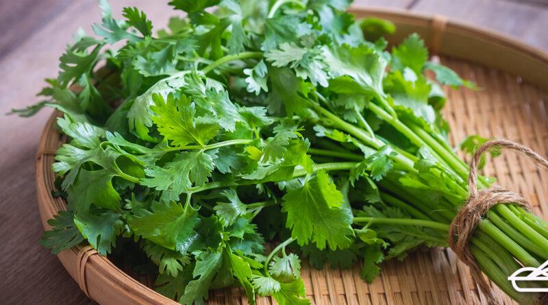 ประโยชน์ของผักชีไทย เพื่อสุขภาพ และข้อควรระวัง
